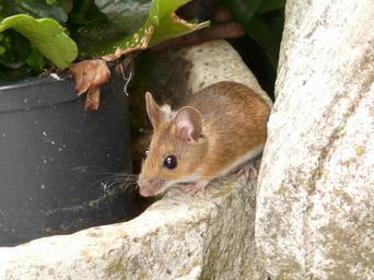 malá myš